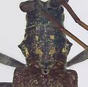 Cerambycidae, pronutum - Monochamus carolinensis