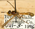 Curated Physoconops gracilis 2 (from the Essig Museum, U.C. Berkeley) - Physoconops gracilis - male