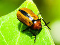 Clay-colored Leaf Beetle?? - Anomoea laticlavia