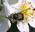 Carrion Beetle? - Trichiotinus affinis