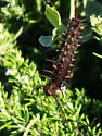 Is this a Pipevine Swallowtail Caterpillar? - Battus philenor