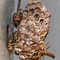 Not Polistes exclamans - Mischocyttarus mexicanus - female