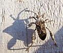Merocoris distinctus
