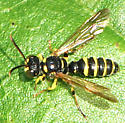 unknown bee or wasp - Cerceris