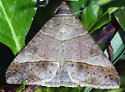 Moth: Geometrid? - Mocis latipes