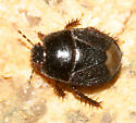 Burrowing Bug - Microporus nigrita