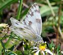 Checkered White, correct? - Pontia protodice - female