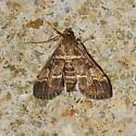 European Pepper moth for October - Duponchelia fovealis