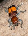 Beautiful beetle - Enoclerus ichneumoneus