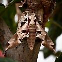 Achemon Sphinx - Eumorpha achemon? - Eumorpha achemon