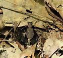 one spotted tiger beetle? - Apterodela unipunctata