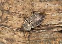 Beetle? - Myochrous