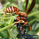 Paper Wasp - Polistes bellicosus
