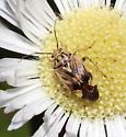 Miridae, Tarnished Plant Bug - Lygus lineolaris