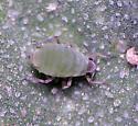 Hayhurstia atriplicis - female