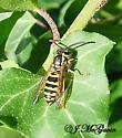 Worker Yellow Jackets-same species? - Vespula maculifrons