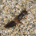 Rove Beetle - Cafius