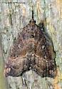Unknown Moth - Hypena californica