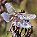 Dragonfly - Libellula luctuosa - female
