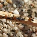 True Bugs - Nysius