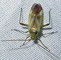 Common Green Capsid? - Adelphocoris lineolatus