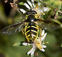 Syrphid Fly - Sericomyia chrysotoxoides