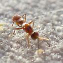 Ant-like orange chalcidoid (?) - Anastatus