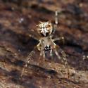 spider - Dolichognatha pentagona