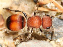 Velvet Ant - Pseudomethoca - female