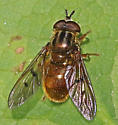 Golden Fly! - Ferdinandea croesus - male