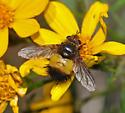 Tachinid sp.? - Xanthoepalpus bicolor