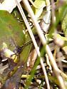 Obscure Bird Grasshopper? - Schistocerca obscura - male