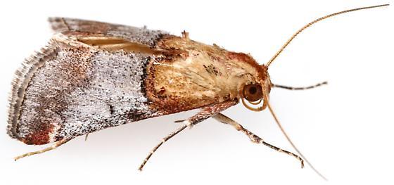 Cacozelia basiochrealis?