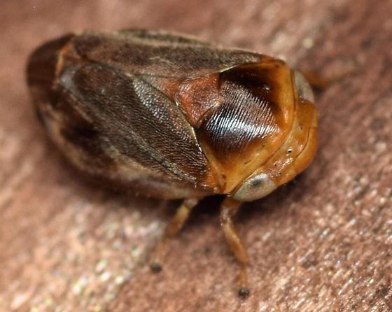 shell froghopper - Clastoptera testacea - female