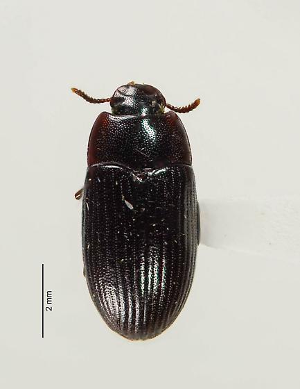 The Lesser (of two) Mealworms - Alphitobius diaperinus