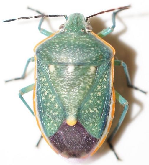 Stink Bug - Chlorochroa sayi