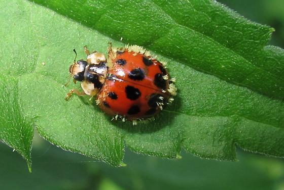 Lady Bird Beetle - Harmonia axyridis