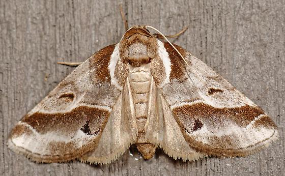 Nolid moth - Baileya doubledayi
