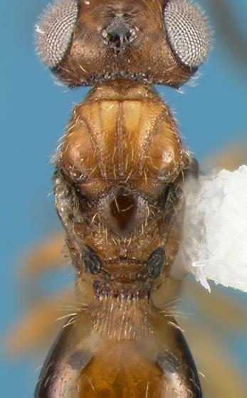 Hymenopteran - Conostigmus