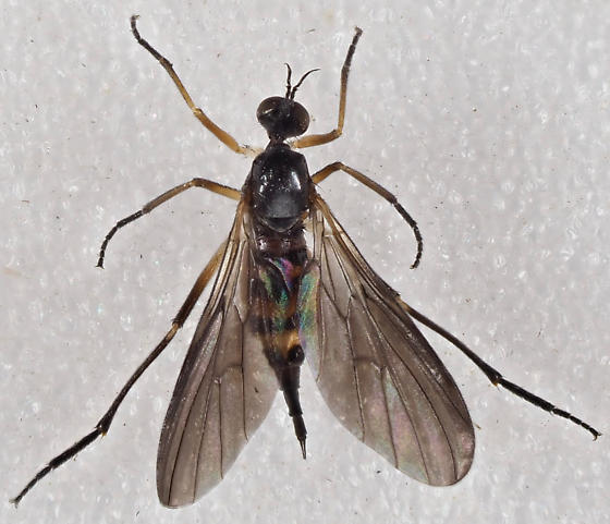 Unknown Fly - Rhamphomyia - female