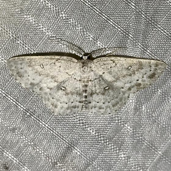 Cyclophora pendulinaria - male