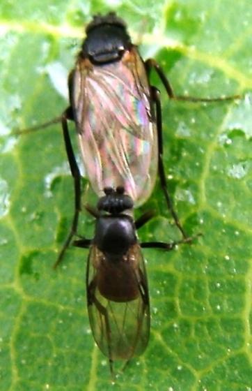 Scuttle Flies - male - female