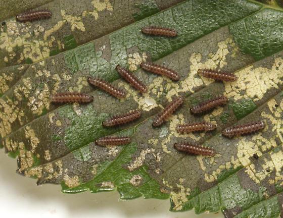 Isabella Tiger Moth, Woolly Bear larvae feeding, Elm - Pyrrharctia isabella