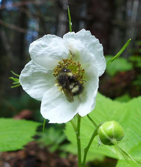 Bee species - Bombus