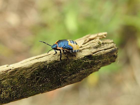 Stink Bug Nymph?? - Perillus