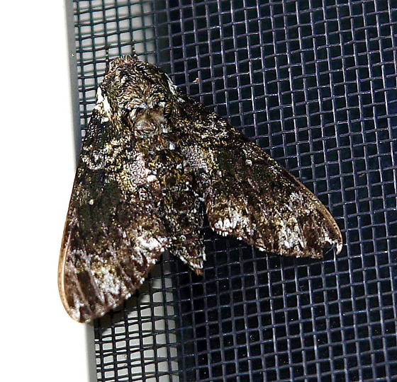 What kind of underwing moth is this? - Dolba hyloeus