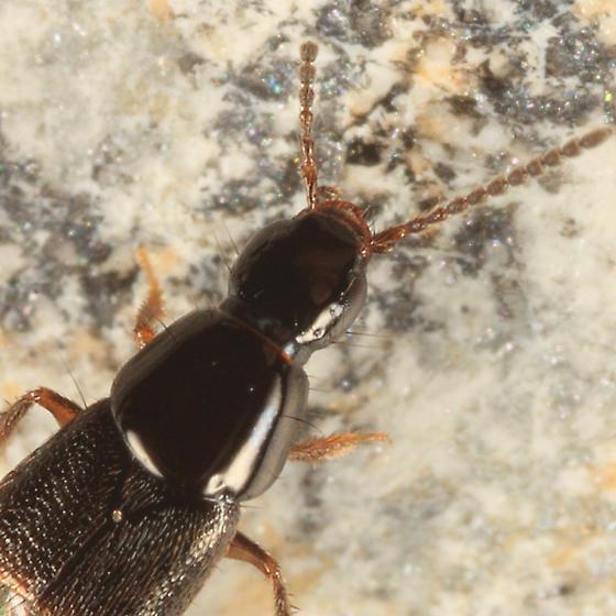 rove beetle - Heterothops fusculus