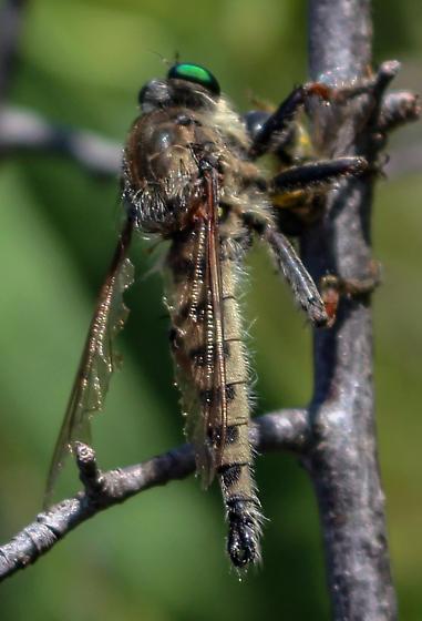 Unknown Robber Fly - Promachus vertebratus