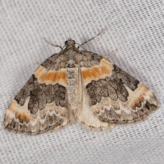 Orange-striped moth at light - Dysstroma hersiliata