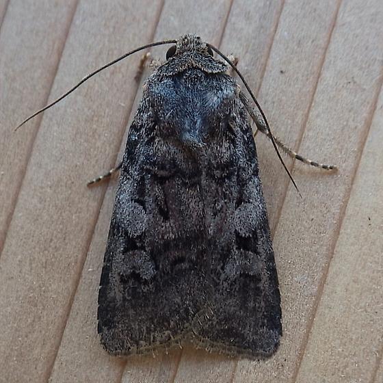 Noctuidae: Euxoa lillooet - Euxoa lillooet